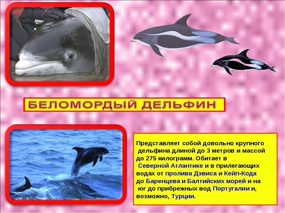 Как выглядит дельфин описание