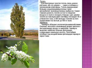 Тополь Для населенных пунктов тополь очень ценное растение, ибо это дерево –