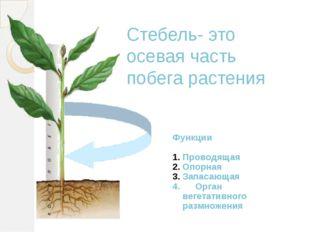 Стебель- это осевая часть побега растения Функции Проводящая Опорная Запасающ