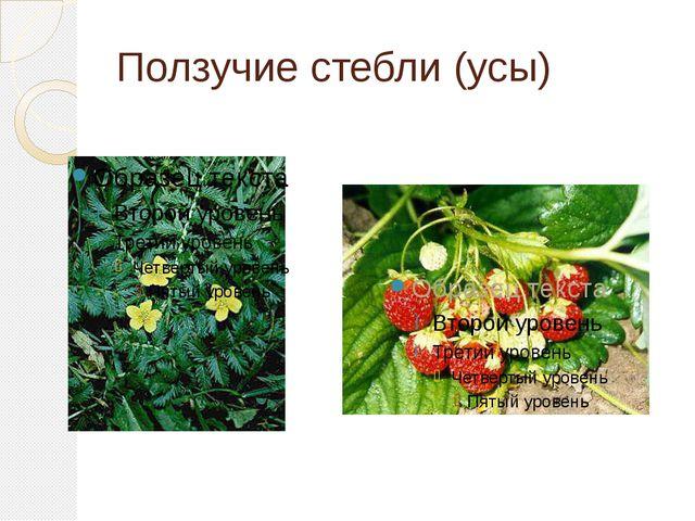 Ползучие стебли (усы)