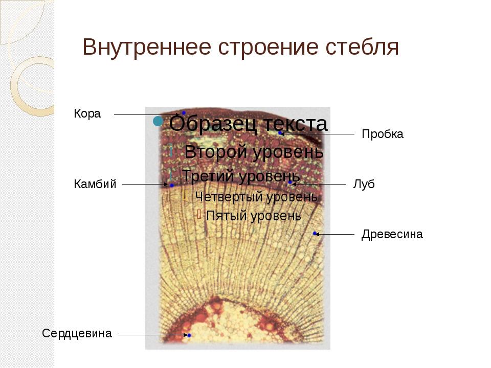 Внутреннее строение стебля Кора Пробка Луб Камбий Древесина Сердцевина