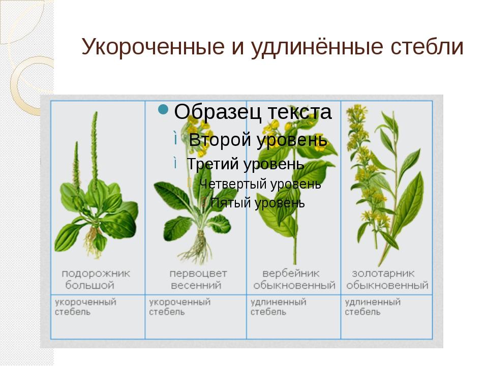 Укороченные и удлинённые стебли