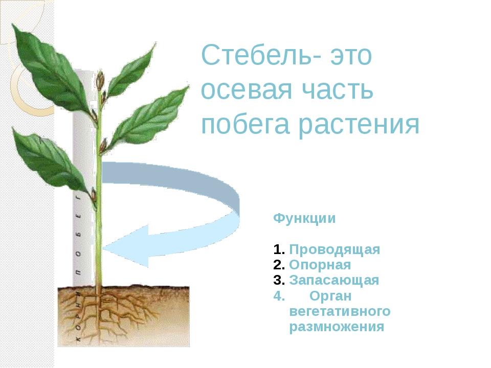 Стебель- это осевая часть побега растения Функции Проводящая Опорная Запасающ...