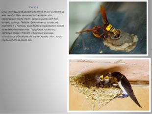 Гнёзда Осы- гончары собирают влажную глину и лепят из неё гнездо. Они начинаю