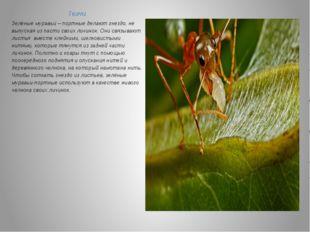 Ткачи. Зелёные муравьи – портные делают гнездо, не выпуская из пасти своих ли