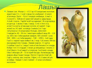 Лашын Лашын (лат. Фалцо ) – сұңқар тұқымдасына жататын жыртқыш құс. Қазақста