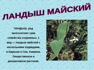 ЛАНДЫШ, род многолетних трав семейства спаржевых. 1 вид — ландыш майский с н