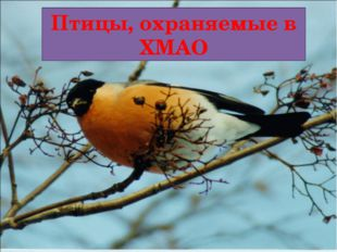 Птицы, охраняемые в ХМАО
