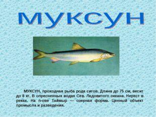 МУКСУН, проходная рыба рода сигов. Длина до 75 см, весит до 8 кг. В опреснен