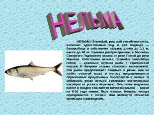 НЕЛЬМЫ (Stenodus), род рыб семейства сигов, включает единственный вид и два