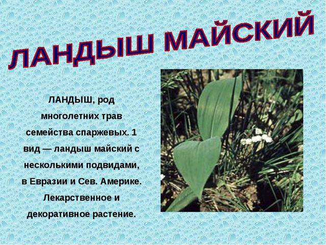 ЛАНДЫШ, род многолетних трав семейства спаржевых. 1 вид — ландыш майский с н...
