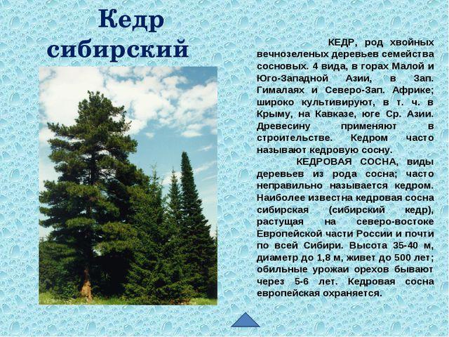 КЕДР, род хвойных вечнозеленых деревьев семейства сосновых. 4 вида, в горах...