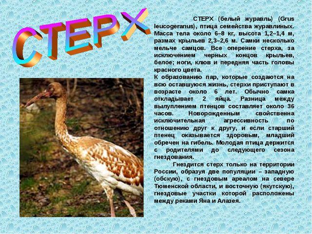 СТЕРХ (белый журавль) (Grus leucogeranus), птица семейства журавлиных. Масса...