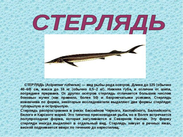 СТЕРЛЯДЬ (Acipenser ruthenus) — вид рыбы рода осетров. Длина до 125 (обычно...