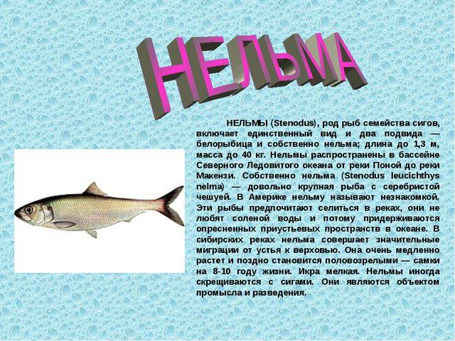 НЕЛЬМЫ (Stenodus), род рыб семейства сигов, включает единственный вид и два...
