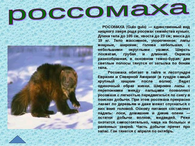 РОСОМАХА (Gulo gulo) — единственный вид хищного зверя рода росомах семейства...