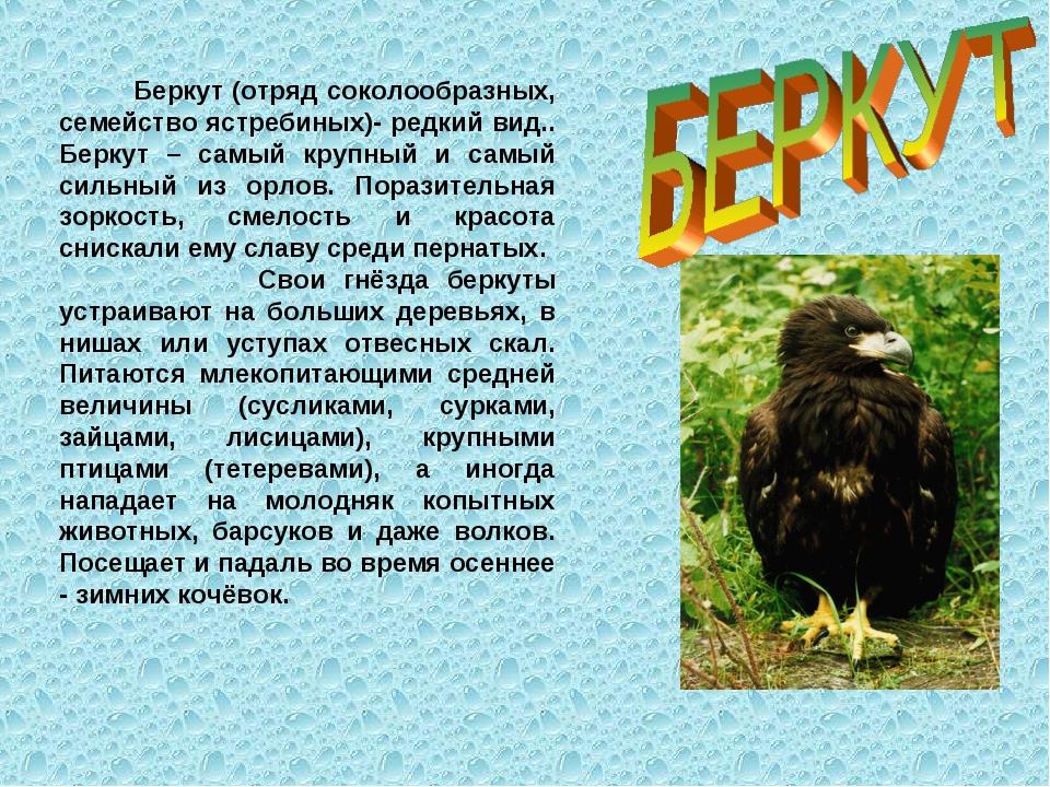 Беркут (отряд соколообразных, семейство ястребиных)- редкий вид.. Беркут – с...