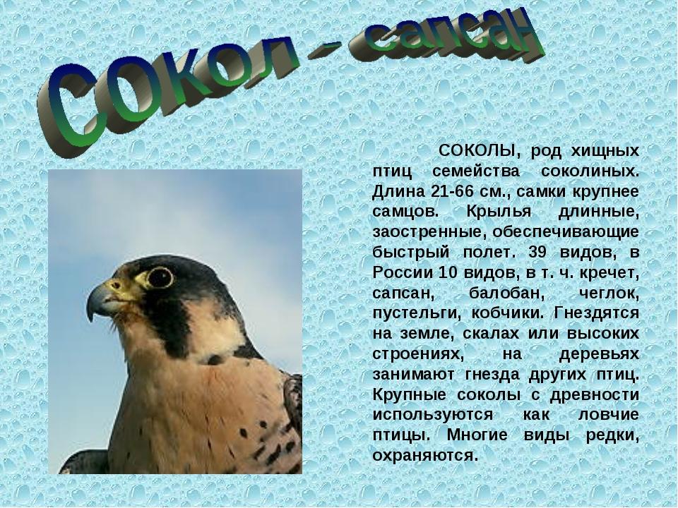 СОКОЛЫ, род хищных птиц семейства соколиных. Длина 21-66 см., самки крупнее...