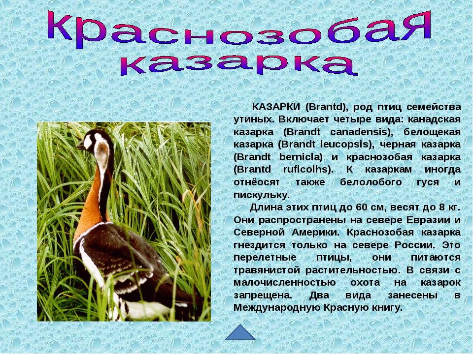 КАЗАРКИ (Brantd), род птиц семейства утиных. Включает четыре вида: канадская...
