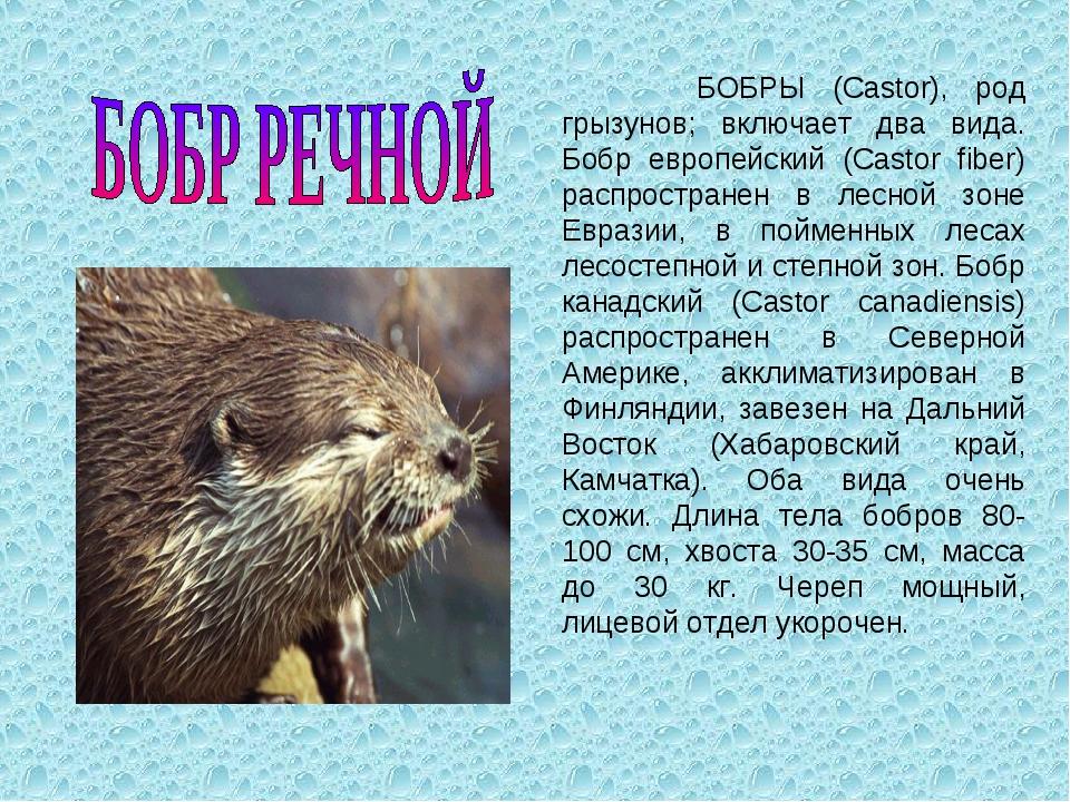 БОБРЫ (Castor), род грызунов; включает два вида. Бобр европейский (Castor fi...