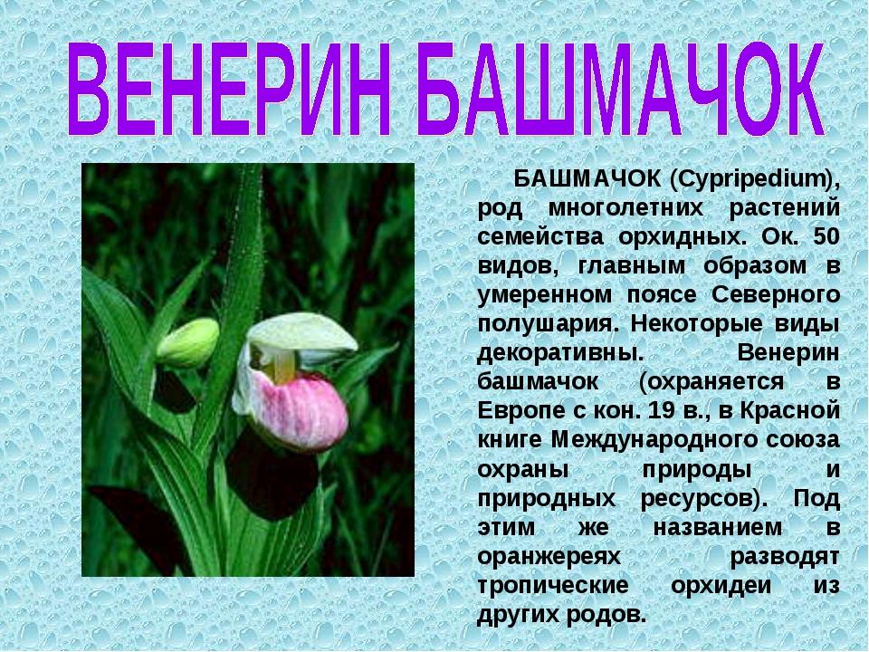 БАШМАЧОК (Cypripedium), род многолетних растений семейства орхидных. Ок. 50...