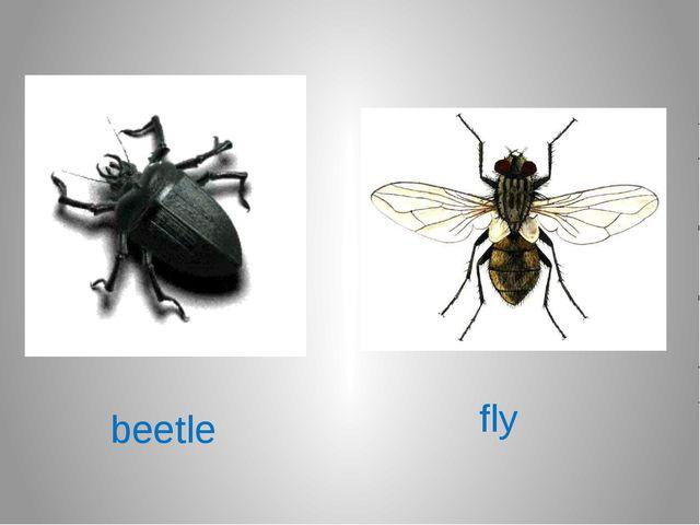 beetle fly