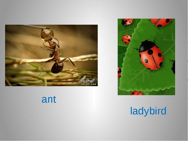 ant ladybird