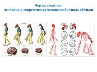 Черты сходства человека и современных человекообразных обезьян