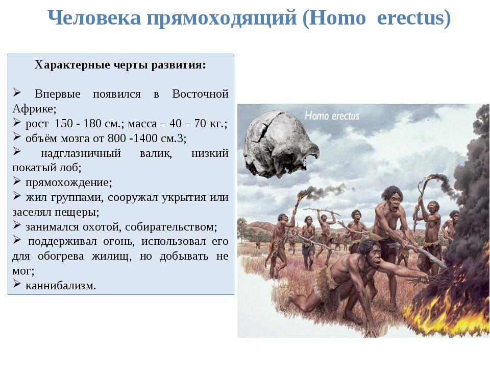 Человека прямоходящий (Homo erectus) Характерные черты развития: Впервые появ...