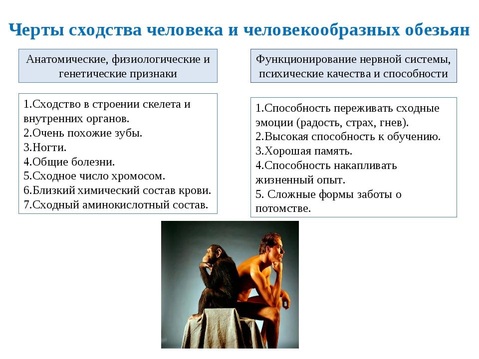Черты сходства человека и человекообразных обезьян Анатомические, физиологиче...