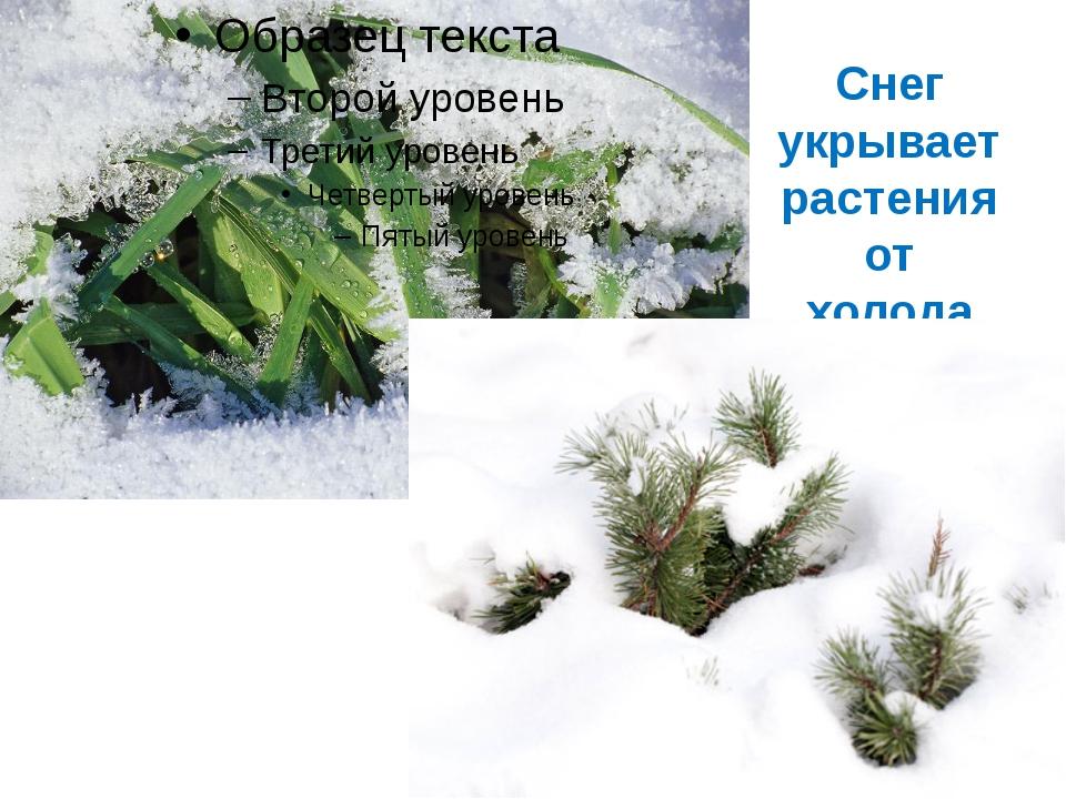 Снег укрывает растения от холода