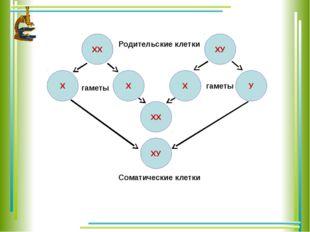 ХХ Х Х ХУ У Х ХУ ХХ Родительские клетки гаметы гаметы Соматические клетки