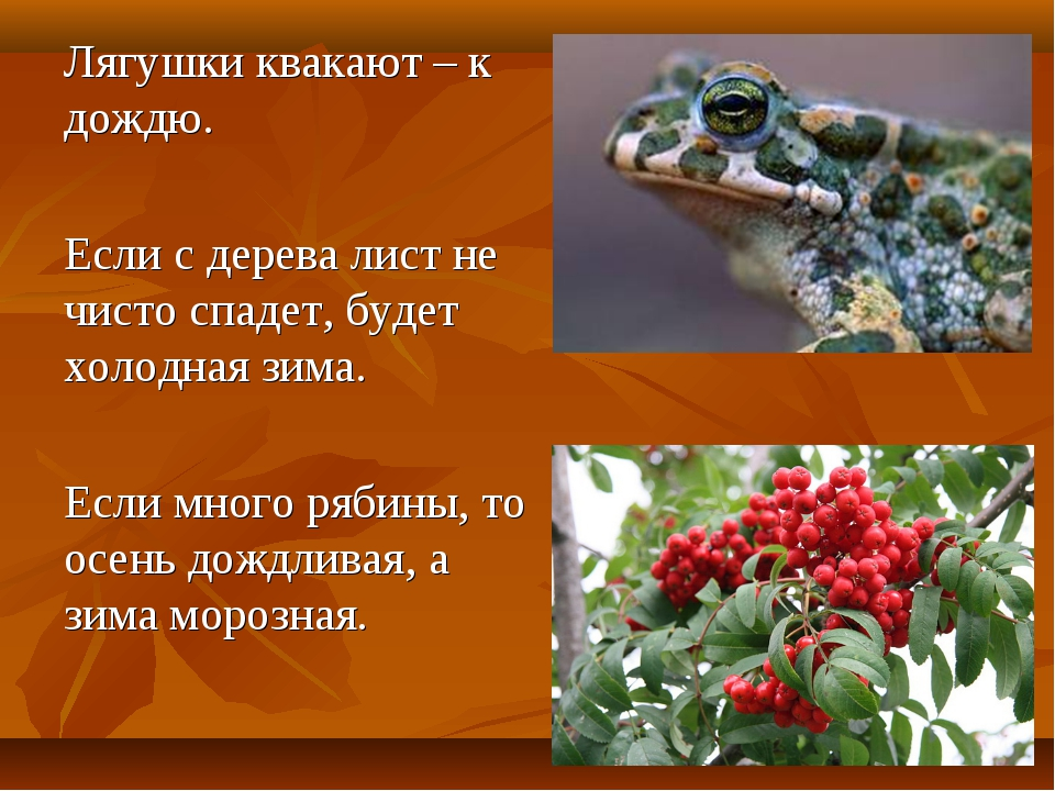 Лягушки квакают – к дождю. Если с дерева лист не чисто спадет, будет холодна...