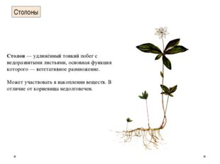 Столоны Столон— удлинённый тонкий побег с недоразвитыми листьями, основная ф