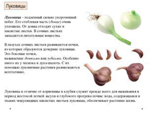Луковицы Луковица- подземный сильно укороченный побег. Его стеблевая часть (