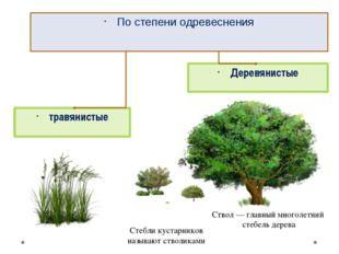 травянистые Деревянистые По степени одревеснения Ствол— главный многолетний
