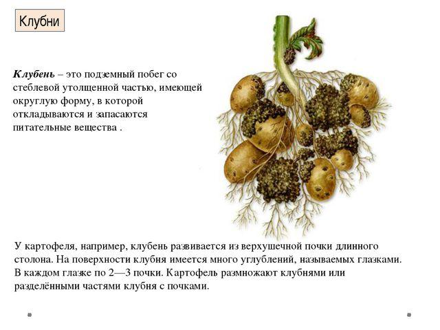 Клубни У картофеля, например, клубень развивается из верхушечной почки длинно...