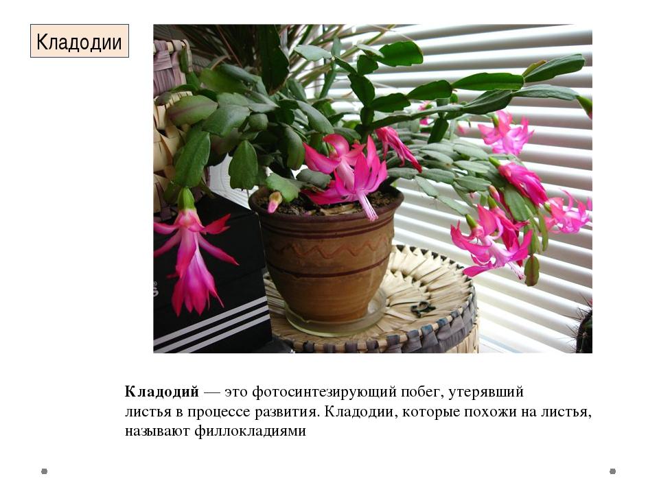 Кладодий— это фотосинтезирующийпобег, утерявший листья в процессе развития....
