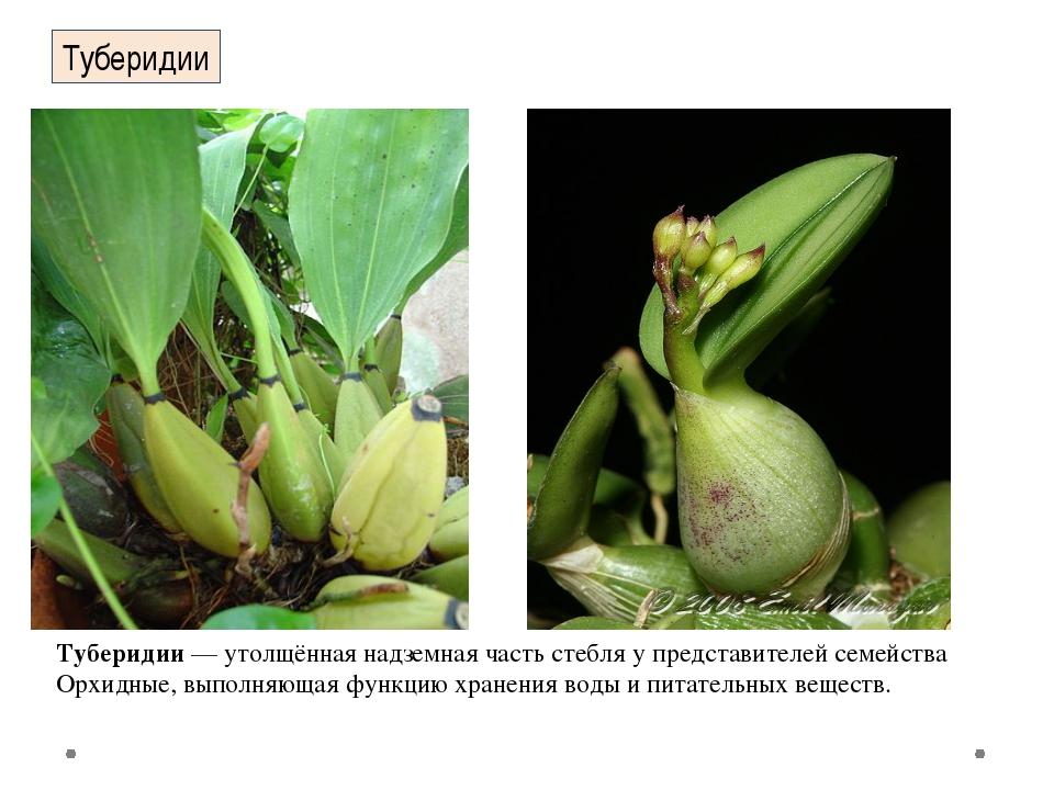 Туберидии Туберидии— утолщённая надземная часть стебля у представителей семе...