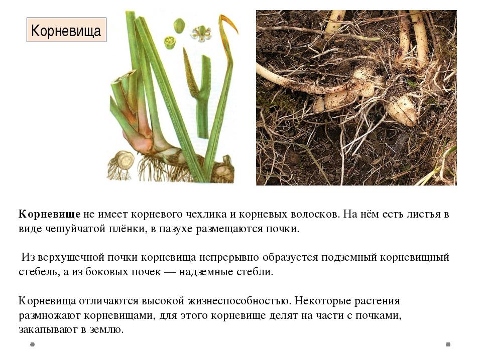 Корневищене имеет корневого чехликаи корневых волосков. На нём есть листья...