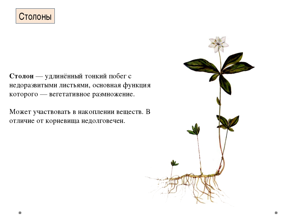 Столоны Столон— удлинённый тонкий побег с недоразвитыми листьями, основная ф...