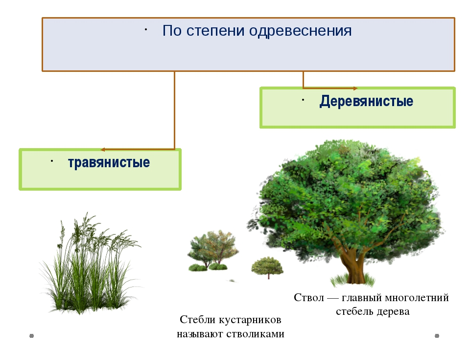 травянистые Деревянистые По степени одревеснения Ствол— главный многолетний...