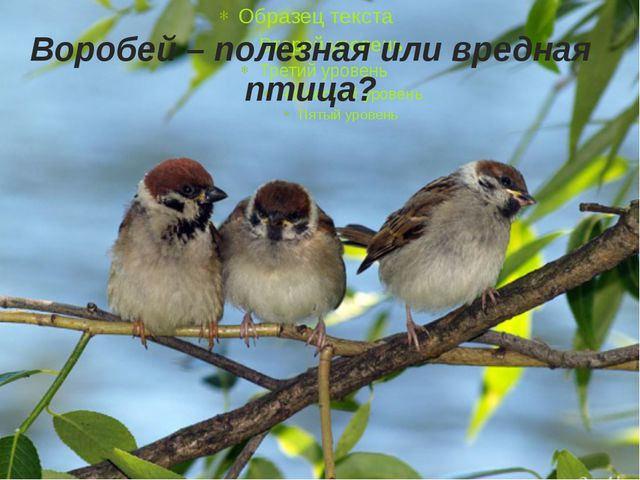 Воробей – полезная или вредная птица?