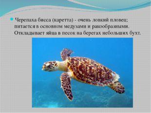 Черепаха бисса (каретта) - очень ловкий пловец; питается в основном медузами