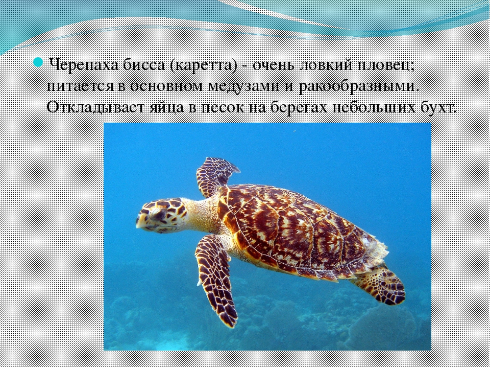 Черепаха бисса (каретта) - очень ловкий пловец; питается в основном медузами...