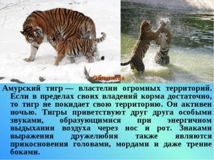 Амурский тигр— властелин огромных территорий. Если в пределах своих владений