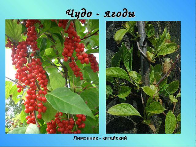 Чудо - ягоды Лимонник - китайский