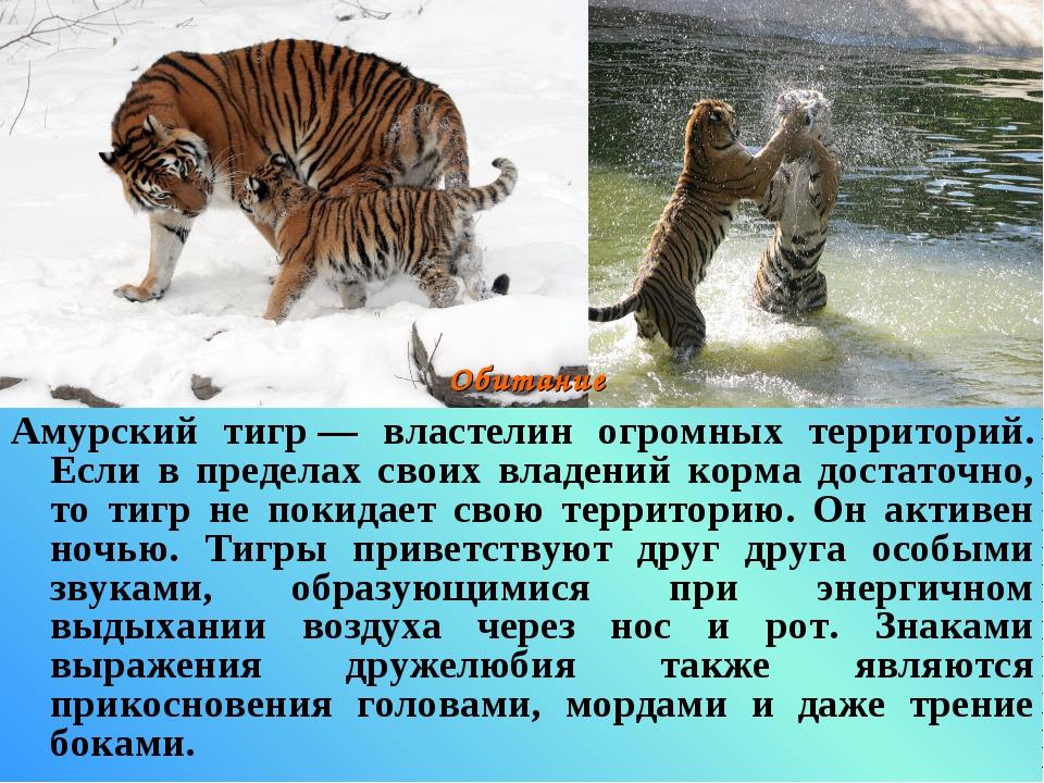 Амурский тигр— властелин огромных территорий. Если в пределах своих владений...