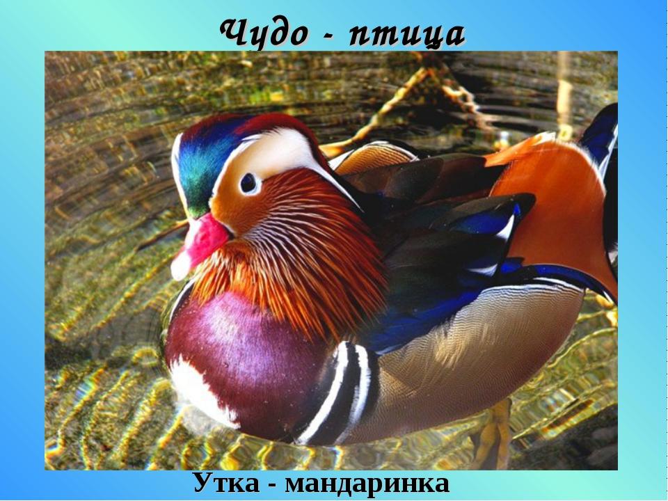 Чудо - птица Утка - мандаринка