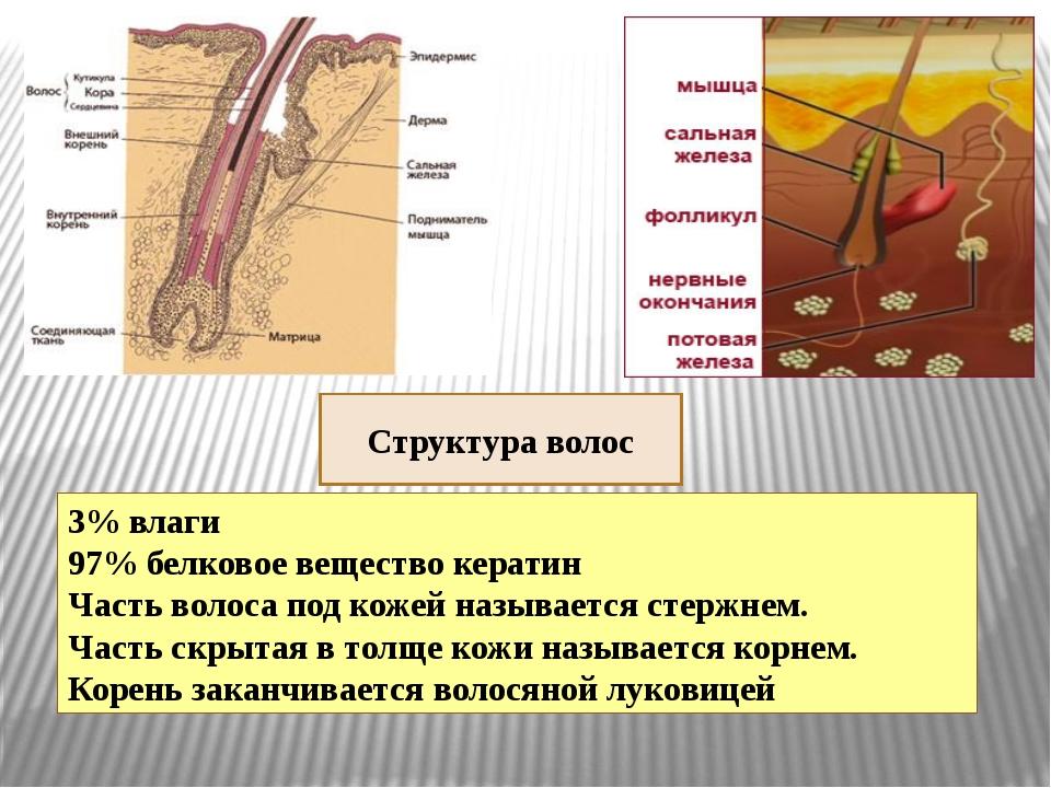 Структура волос 3% влаги 97% белковое вещество кератин Часть волоса под кожей...